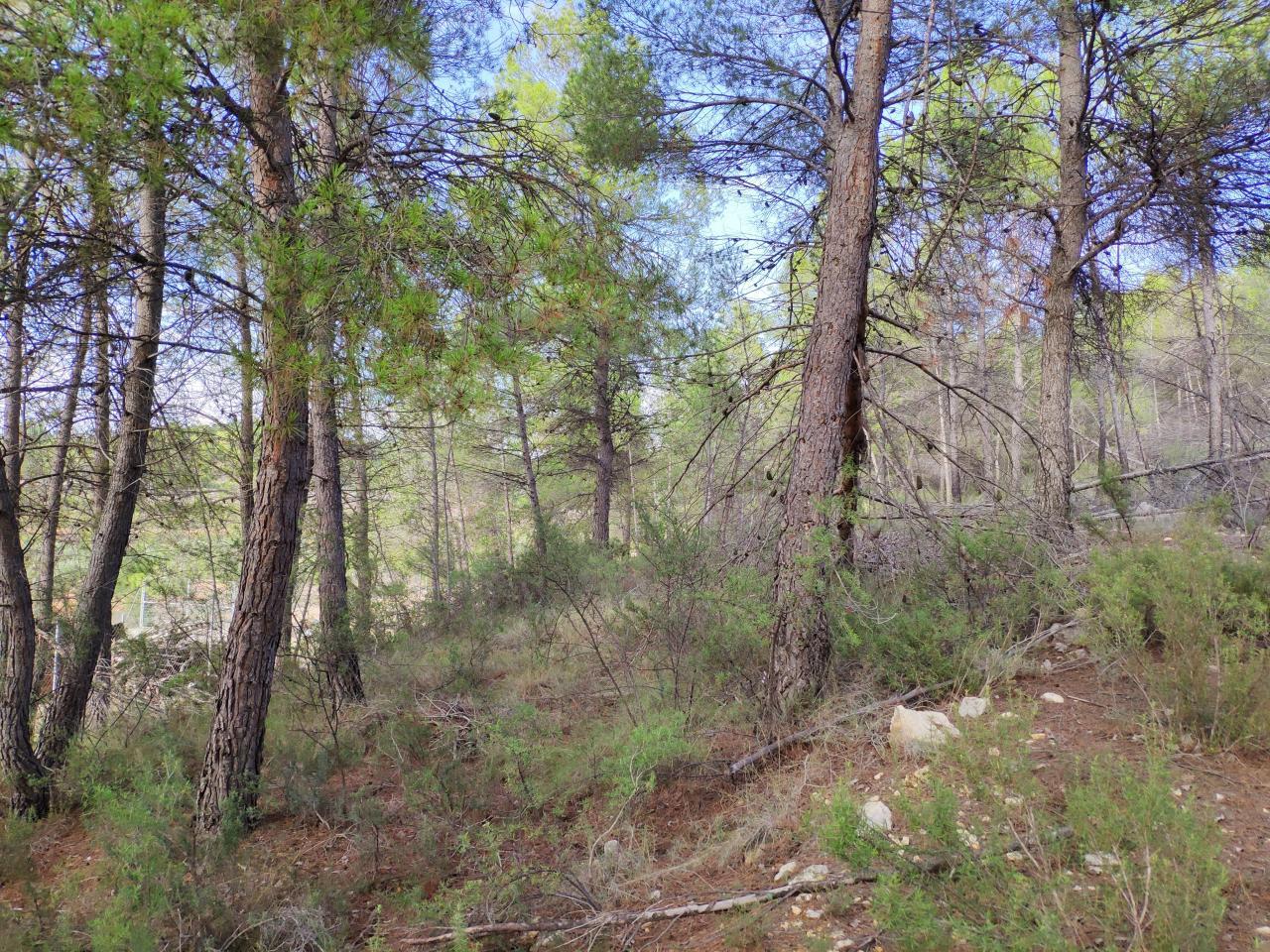 Terreno de pinos